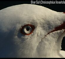 Eye of Silver Gull by ariete