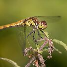 Common darter. by Carole Stevens