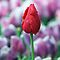 Red Tulip by yolanda
