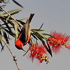 Scarlet Honeyeater taken Julattin in NQ. by Alwyn Simple