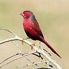 Crimson Finch taken at Tyto Wetlands Ingham by Alwyn Simple