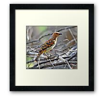 Spotted Bower Bird taken at Macquarie Marshes. Framed Print