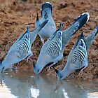 Crested Pigeons drink at a waterhole at daybreak - Simpson Desert by Alwyn Simple