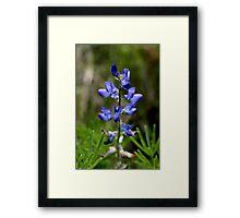 Wild Blue Lupin Framed Print