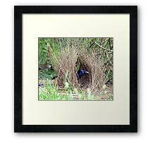 Sattin Bowerbird in his Bower. Taken Seaham area. Framed Print