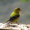American Gold Finch by JeffeeArt4u