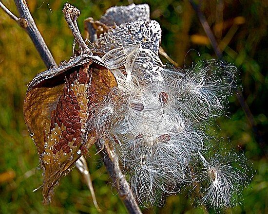 Milkweed Pod by H A Waring Johnson