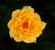 Peach Rose by David Shaw