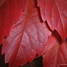 Virginia Creeper (Parthenocissus Quinquefolia) by David's Photoshop