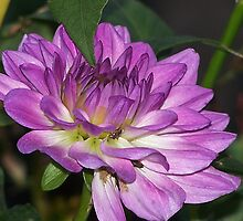 Find The Bug On The Dahlia by Jonice