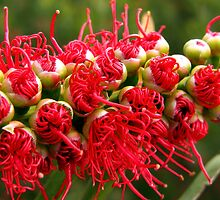 Bottlebrush - genus Callistemon by Paula McManus