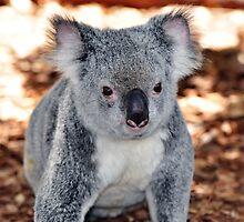 Koala Visit by Booba123