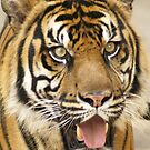 Tiger, beautiful Tiger by kellimays