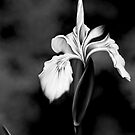 Wild Iris - Black & White Photo Painting by Renee Dawson