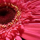 Pink Gerbera 2 by Framed-Photos