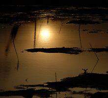 Blackwattle at Sundown by AnnabelHC