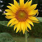 Summer Sunflower by Nadine  Birge