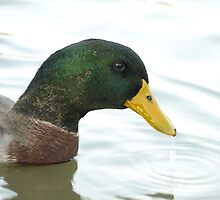 Mallard Duck face by nosajnybor