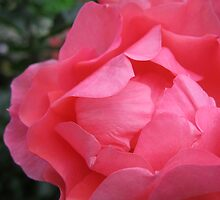 Salmon Pink Rose by Orla Cahill Photography