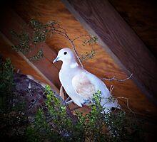 Dove Love by kimron