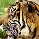 Profile of a Tiger up close by kellimays