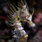 Short Head Seahorse (Hippocampus breviceps) by daveharasti