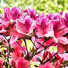 Azaleas welcoming spring by Woomera