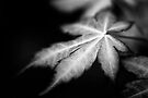 Acer Leaf by Andy Freer