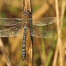 Autum Dragonfly by Robert Abraham