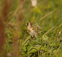Goldfinch by Jon Lees