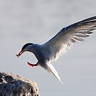 Common Tern by Jim Cumming