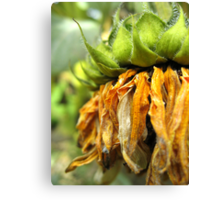 Withered Sunflower no.2 Canvas Print