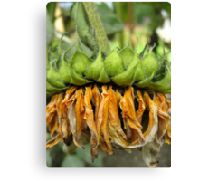 Withered Sunflower no.5 Canvas Print