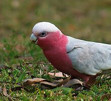 Galahs in the Yard by groophics