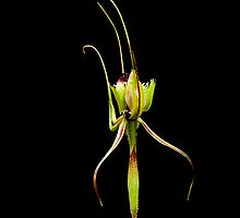 Mantis Orchid by Julia Harwood