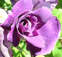 lavender rose. by melodie