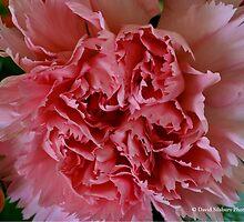 Pink Carnation by David's Photoshop