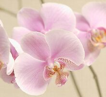 Soft on Orchids by Jacky Parker