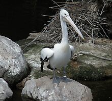 Pelican Pete by judygal