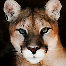 Mountain Lion by Jarede Schmetterer