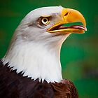 Bald Eagle by Stuart Robertson Reynolds