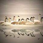 Swans on Ice #2 by Tizme