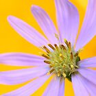 Autumn Aster by Gina Ruttle  (Whalegeek)
