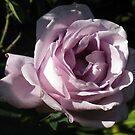 Mystical Olde Worlde Rose by GemmaWiseman