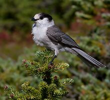 Gray Jay by Martin Smart