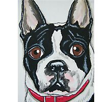 Boston Terrier portrait Photographic Print