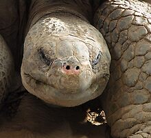 Galapagos Tortoise by Trish Meyer