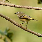 RUBY-CROWNED KINGLET by Sandy Stewart