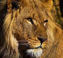 African Lion by Dave  Knowles