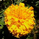Yellow wonder by Bonnie Pelton